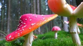 Déjà 87 intoxications aux champignons: prudence
