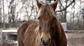 Viande de cheval. Traçabilité déficiente outre-Atlantique