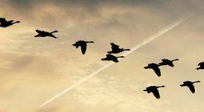 Avion. Pas d'indemnisation en cas de collision avec un oiseau