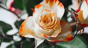 Roses équitables. Un marché en éclosion
