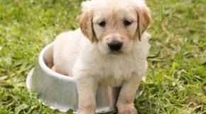Un chien de race doit être apte à la reproduction