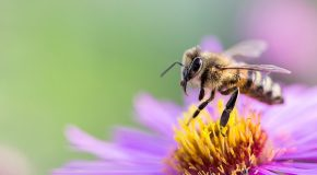 Pesticides tueurs d'abeilles. L'interdiction s'impose