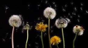 Pollens : le point sur les risques allergiques