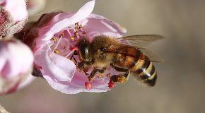 Pesticides tueurs d'abeilles. Enfin interdits !