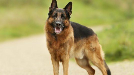 chien-berger-allemand-voisinage-servitude-passage