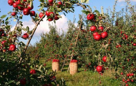 #verger #pommes